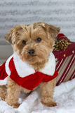Christmas dog with a present. Christmas dog with present wearing Christmas dress royalty free stock photo