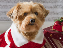 Christmas dog with a present. Christmas dog with present wearing holiday dress. Yorkiepo royalty free stock photography