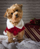 Christmas dog with a present. Christmas dog with present, wearing a Christmas outfit. Yorkshire Terrier royalty free stock image