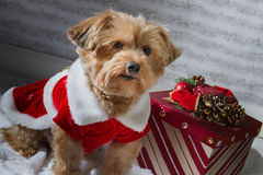 Christmas dog with a present. Christmas dog with present, wearing a red holiday dress. Yorkshire Terrier royalty free stock image