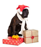 Christmas dog with presents Royalty Free Stock Image