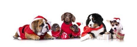 Christmas dog puppy groop. New Year`s puppy, Christmas dog puppy Royalty Free Stock Images
