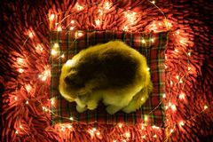 Christmas Dog. puppy toy sleeping surrounded by garland. postcard gift royalty free stock image