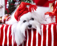 Christmas dog in a red hat. Christmas dog gnome in a red cap Royalty Free Stock Photos