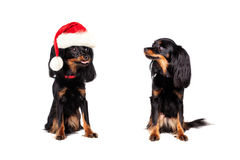 Christmas Dog in Santa Hat teased Little Dog Royalty Free Stock Photo