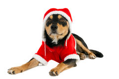 A Christmas dog in Santa outfit Stock Photo