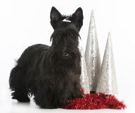 Christmas dog. Scottish terrier standing by christmas decorations on white background stock image