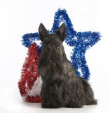 Christmas dog. Scottish terrier standing by christmas decorations on white background stock photo