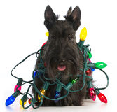 Christmas dog. Scottish terrier tangled in colorful christmas lights on white background royalty free stock photography