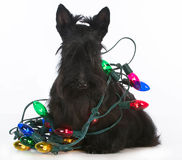 Christmas dog. Scottish terrier tangled in colorful christmas lights on white background royalty free stock photos