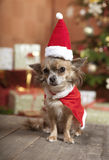Christmas dog sitting. A little chihuahua dog sitting in front of the Christmas tree. He is dressed as Santa Claus Royalty Free Stock Photo