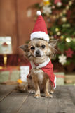 Christmas dog with stocking cap. A little chihuahua dog sitting in front of the Christmas tree. He is dressed as Santa Claus Stock Photo
