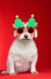 Christmas dog wearing glasses. A small white pet dog wearing humorous Christmas glasses.  Red background Stock Photos