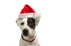 Christmas dog. White dog posing with a santa hat Stock Photos