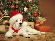 Christmas dog, white puppy retriever in santa hat, xmas tree