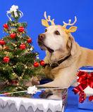 Christmas dog1.jpg. Xmas tree and cute labrador wearing antler Royalty Free Stock Photos