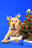 Christmas dog2. Xmas tree and cute labrador wearing antler Stock Images