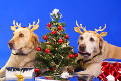 Christmas dog3. Xmas tree and cute couple of labrador wearing antler Stock Image