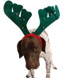 Christmas dogg looking awkward. German short haired pointer wearing reindeer ears and looking awkard Stock Image