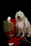 Christmas Doggie Stock Image