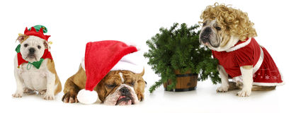 Christmas dogs Stock Photo