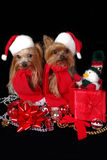 Christmas dogs. Two Yorkshire-Terrier dressed up for Christmas Stock Photography
