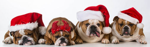 Christmas dogs Royalty Free Stock Image