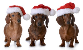 Christmas dogs Stock Photography