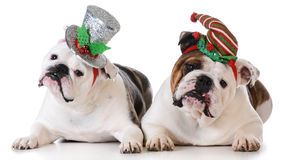 Christmas dogs Stock Image