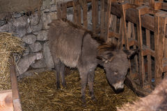 Christmas donkey in stable Stock Photo