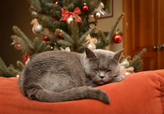 Christmas dreams. Concept - british shorthair cat sleeping on the couch and dreaming Royalty Free Stock Photography