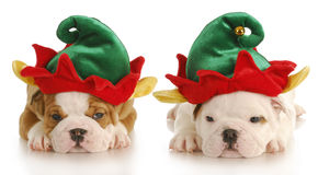 Christmas elf. English bulldog puppies dressed up like christmas elf with reflection on white background Stock Photo
