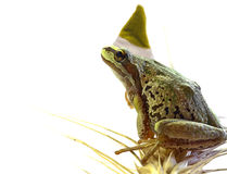 Christmas Elf Tree Frog Sitting on Stalk of Wheat Royalty Free Stock Image