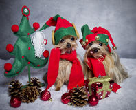 Christmas elf yorkshire terrier dogs. Yorkshire terrier dogs dressed like elf Stock Photos