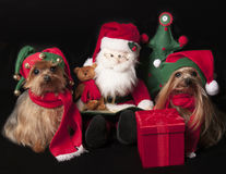 Christmas elf yorkshire terrier dogs. Yorkshire terrier dogs dressed like elf with Santa Claus Royalty Free Stock Photos