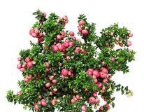 Christmas evergreen Pernettya plant Stock Photo