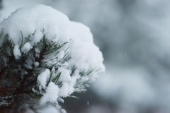 Christmas evergreen pine tree covered with fresh snow Royalty Free Stock Image