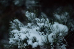 Christmas evergreen pine tree covered with fresh snow Stock Image