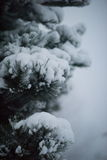 Christmas evergreen pine tree covered with fresh snow Stock Photos