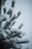 Christmas evergreen pine tree covered with fresh snow Royalty Free Stock Photos