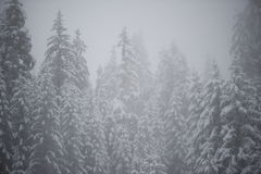 Christmas evergreen pine tree covered with fresh snow Royalty Free Stock Images