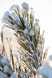 Christmas evergreen pine tree with fresh snow Stock Photography