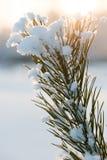 Christmas evergreen pine tree with fresh snow Royalty Free Stock Image