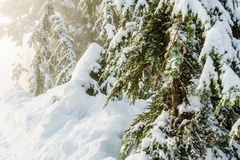 Christmas evergreen pine trees in the snowin winter forest sunny day. Christmas evergreen pine trees in the snowin winter forest sunny day Royalty Free Stock Photos