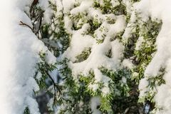 Christmas evergreen pine trees in the snowin winter forest sunny day. Christmas evergreen pine trees in the snowin winter forest sunny day Stock Image