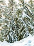 Christmas evergreen pine trees in the snowin winter forest sunny day. Christmas evergreen pine trees in the snowin winter forest sunny day Royalty Free Stock Photo
