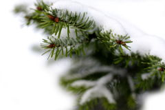 Christmas evergreen spruce tree Stock Images