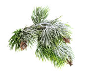Christmas evergreen spruce tree Stock Photos