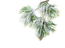 Christmas evergreen spruce tree Royalty Free Stock Photos