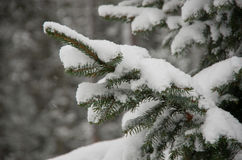 Christmas evergreen spruce tree branch Stock Image